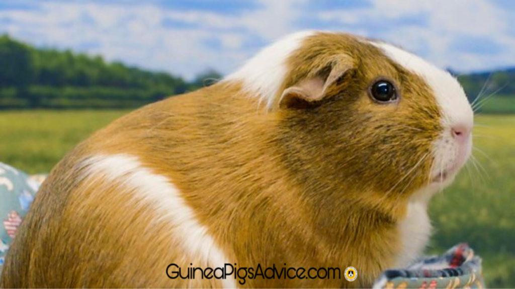 guinea pigs habitat, origin.