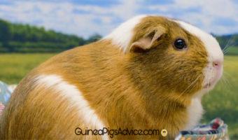 guinea pigs origin