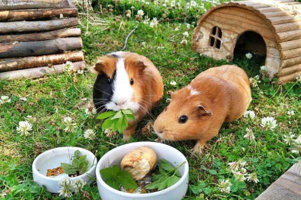 Guinea Pig Food & Diet