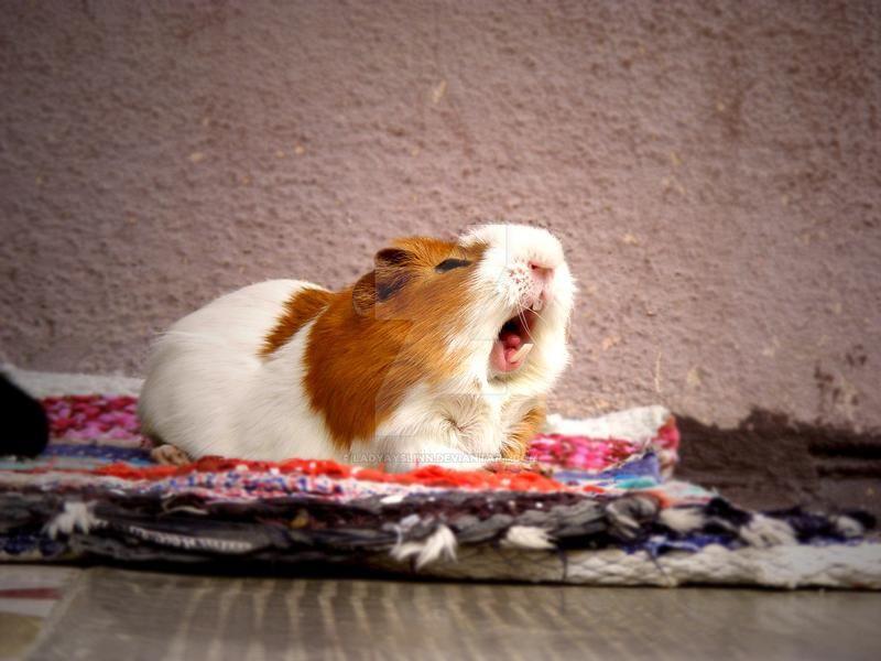 Guinea Pig Behavior