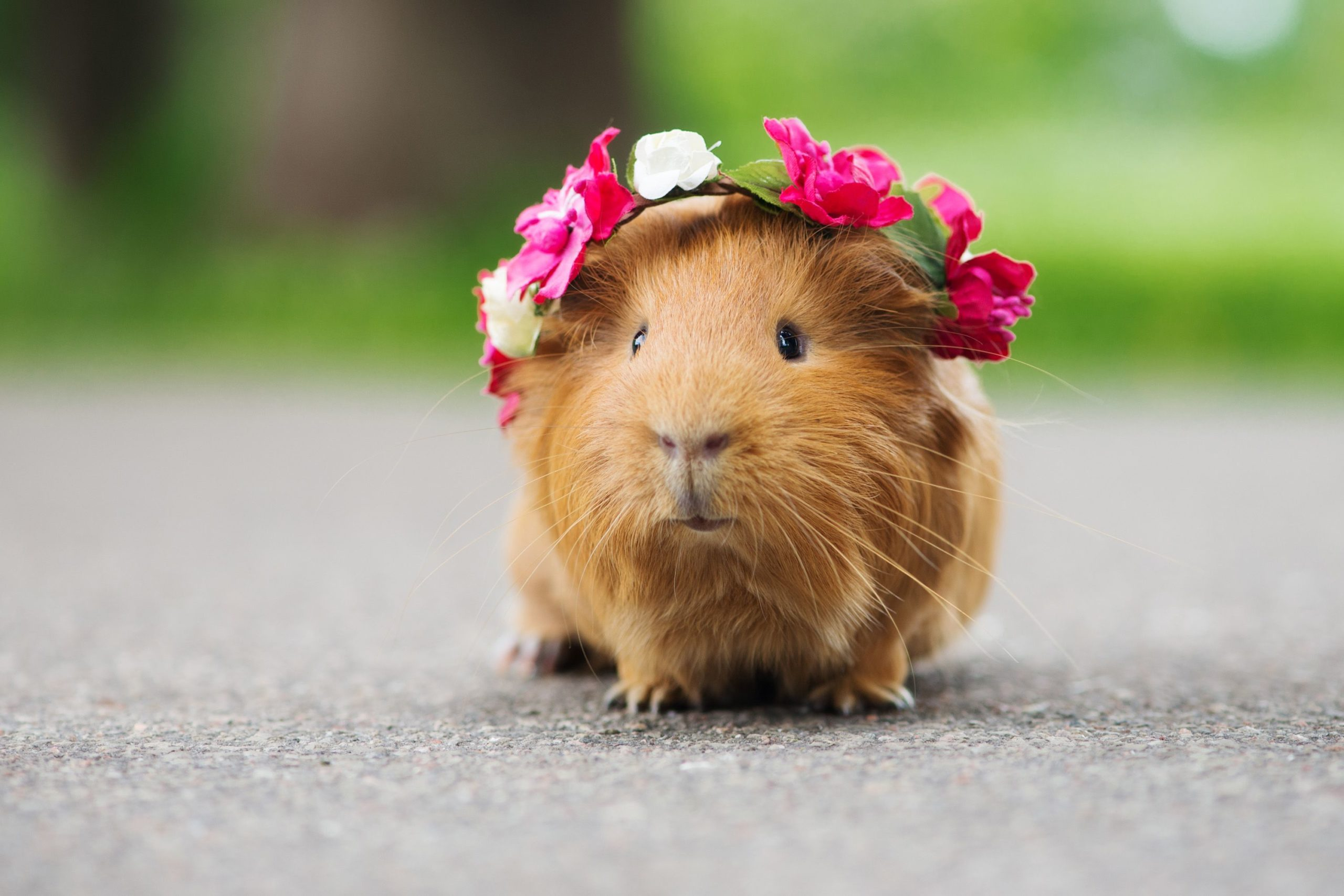 Do's and Don'ts When Travelling with Your guinea Pig