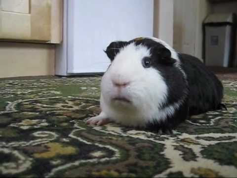 guinea pig Whining sound