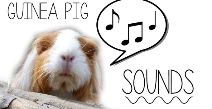Decode Guinea Pig Sounds – Know What They Mean