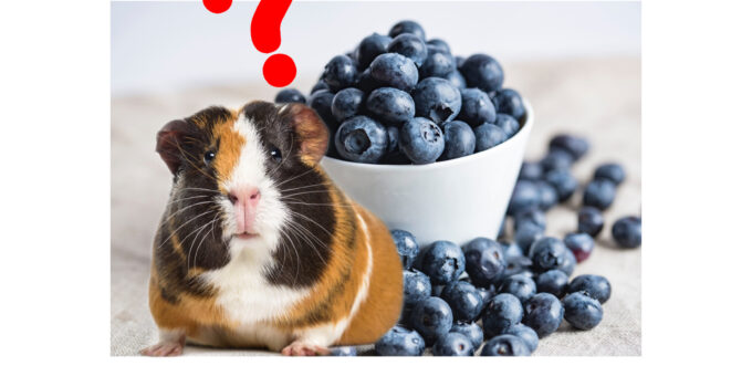 Can Guinea Pigs Eat Blueberries? (Risks, Benefits & Proportion)