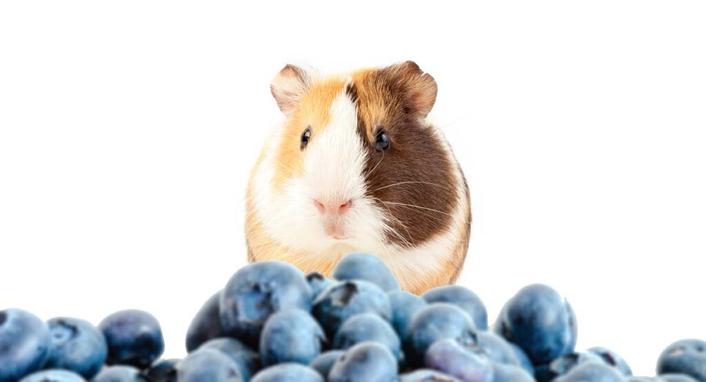 Blueberries as a treat for guinea pigs
