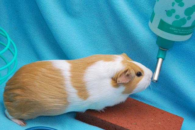 water bottle for guinea pig