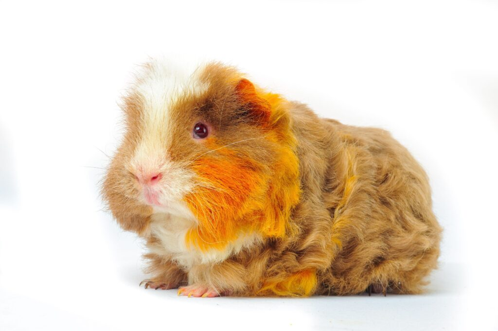 Tips for Increasing Your Guinea Pig's Lifespan