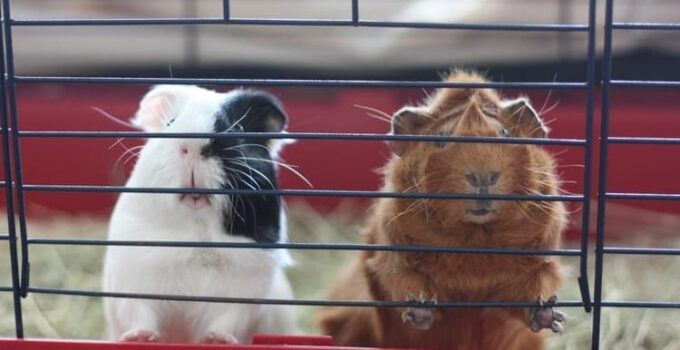 Guinea Pig Cage Size Guide – What are the requirements?