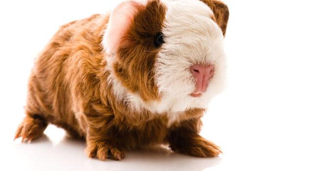 How Long do Guinea Pigs Live? – Guide to Guinea Pig Lifespan